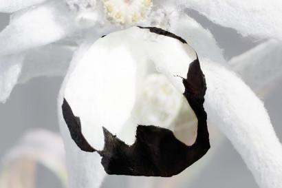 Edelweiss-g14.jpg